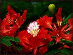 Fleurs de flamboyant - Flamboyant-Blüten (Delonix Regia)