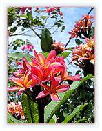Fleurs de frangipanniers façon aquarelle