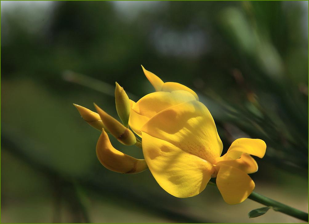 Fleurs de genêts