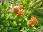 fleurs de grenadier