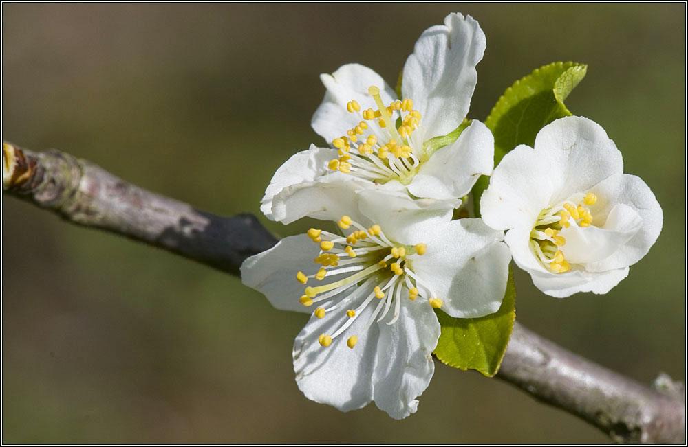 Fleurs de guignier