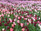 Fleurs de Keukenhof Pays-Bas 2