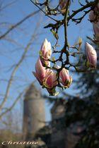 Fleurs de Magnolia soulangeana