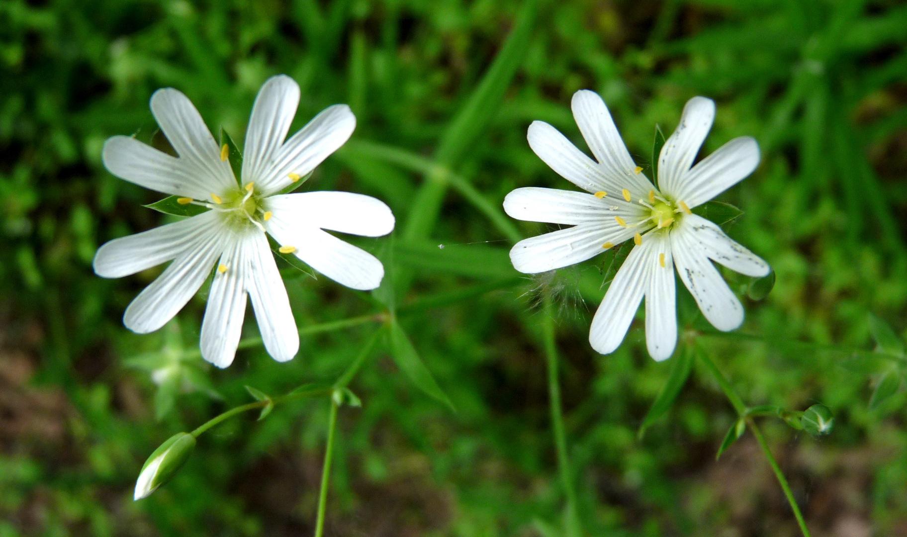 Fleurs de Marie.
