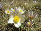 Fleurs de montagne des Pyrennées au printemps