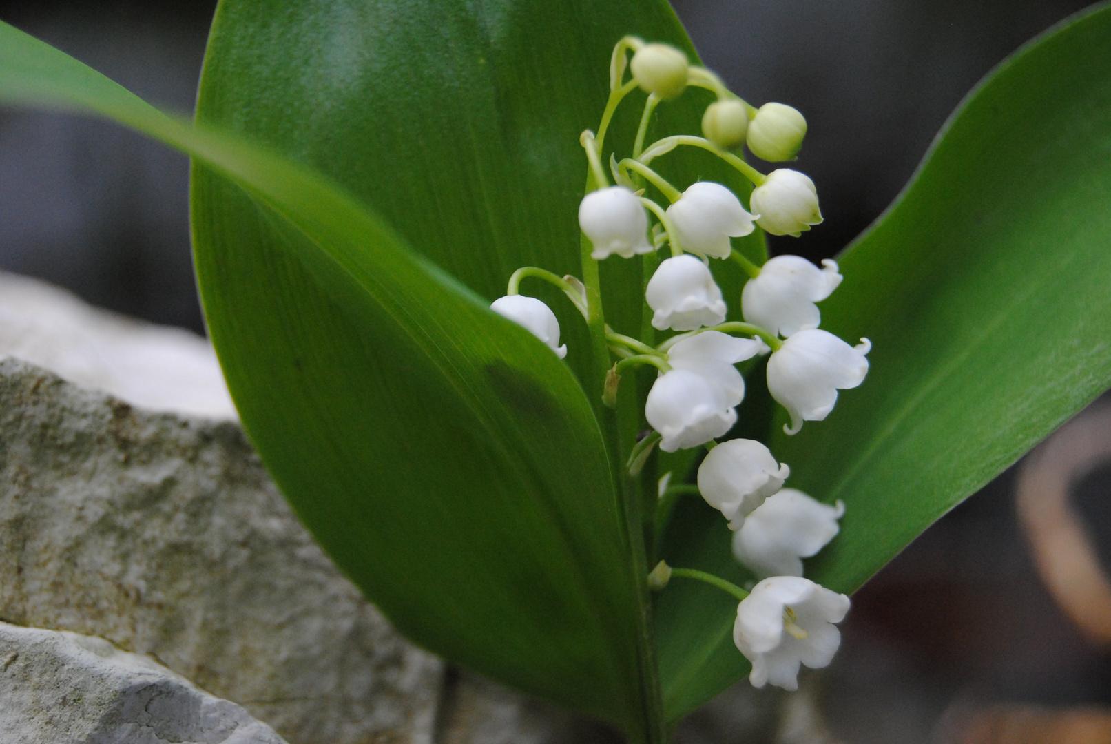 Fleurs de muguet