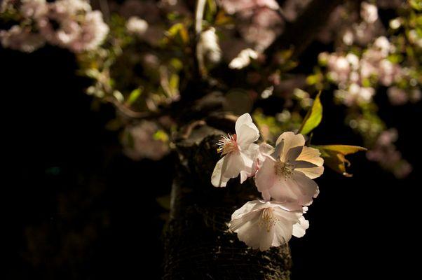 Fleurs de nuit II