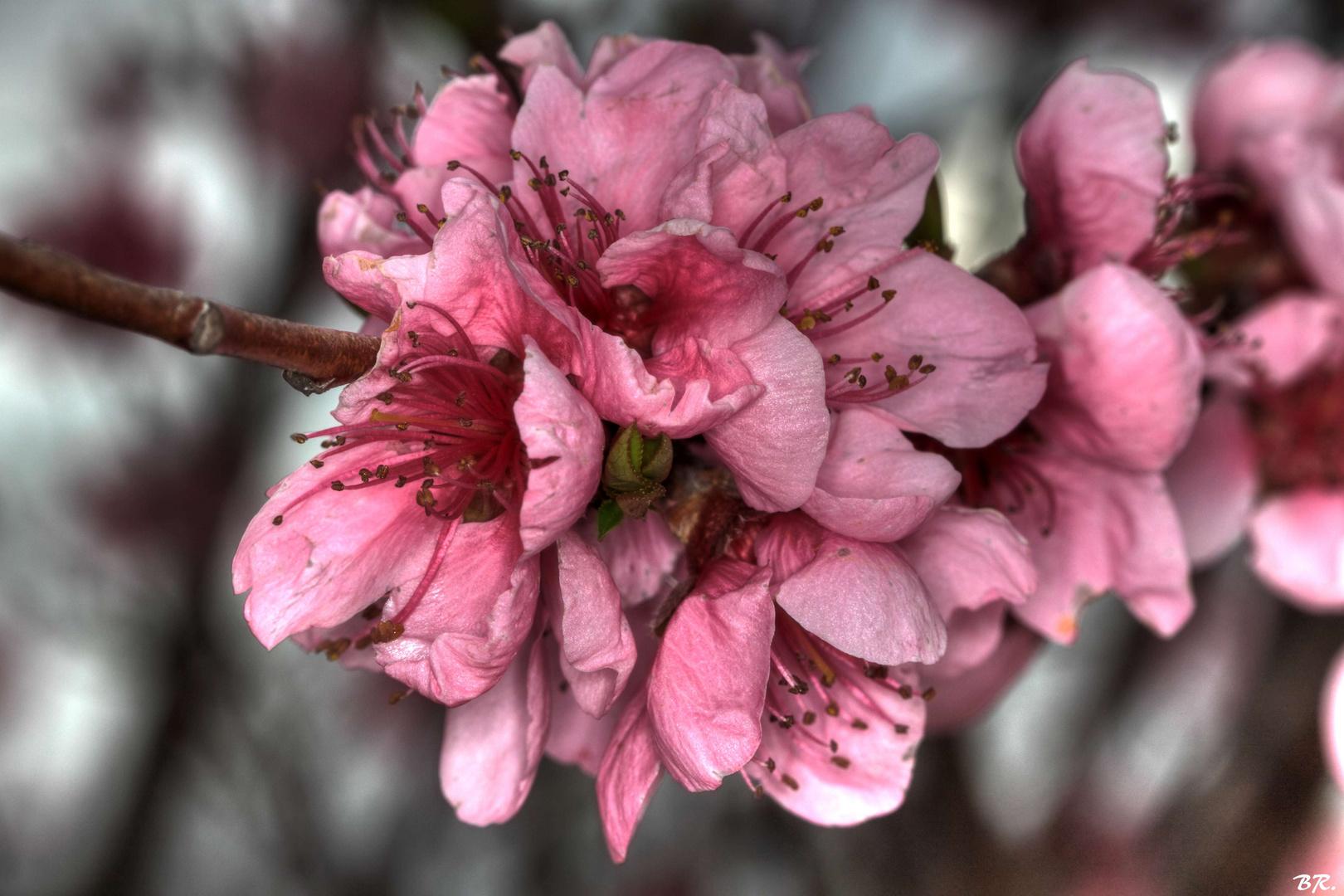 fleurs de pécher