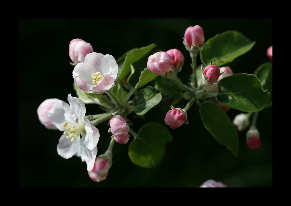 fleurs de pommier jonagold image photo de fotophilou de concours printemps photographie. Black Bedroom Furniture Sets. Home Design Ideas