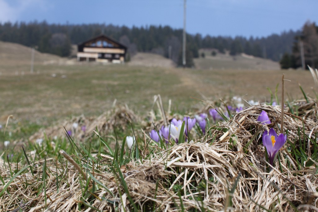 Fleurs de printemps dans les alpages