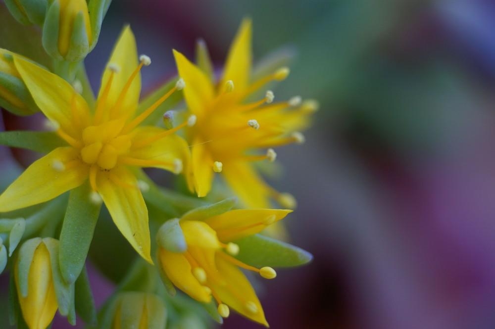 fleurs de sédum 2