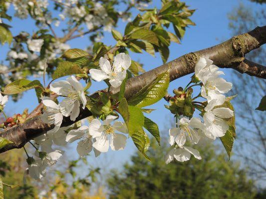 fleurs des cerisiers