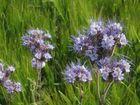 fleurs des champs...( de blé)