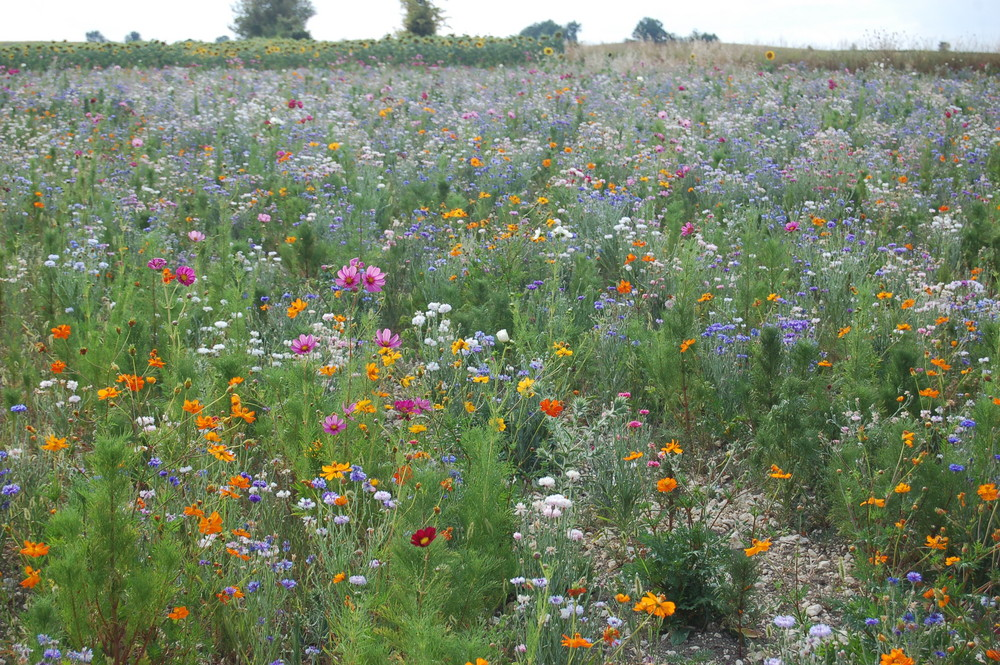 Fleurs des champs jach re photo et image fleurs - Fleur de jachere ...