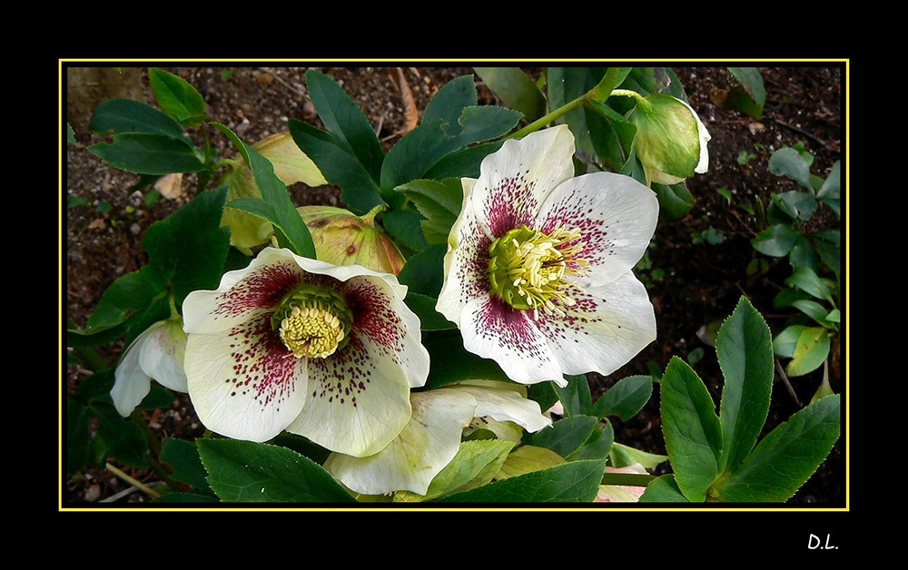 ...Fleurs d'hellébore...