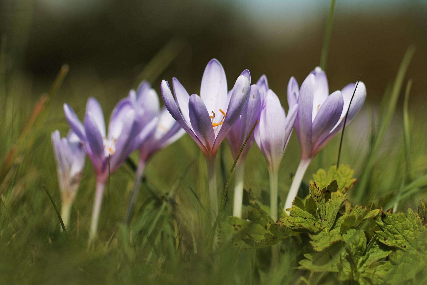 Fleurs du haut-doubs