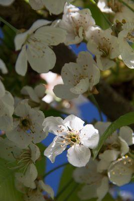 Fleurs du verger