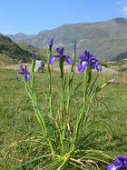 Fleurs et montagnes. 0707