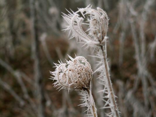 fleurs gelées