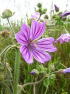 Fleurs, plage du Veryar'ch