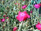 fleurs pourpre