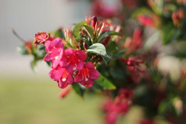 Fleurs roses.