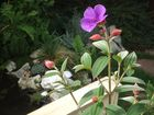 Fleurs Tibouchina