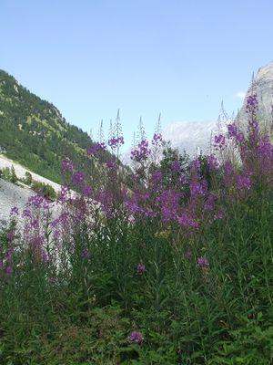 fleurs Vanoise