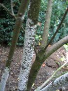 Flieder Stamm Pilz am Stamm was machen ?