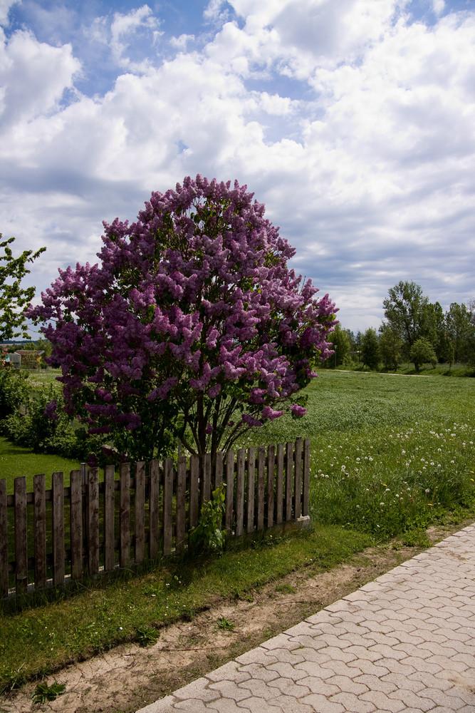 fliederbaum foto bild landschaft lebensr ume natur