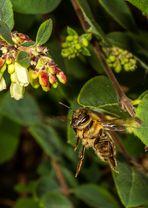 Flieg Bienchen