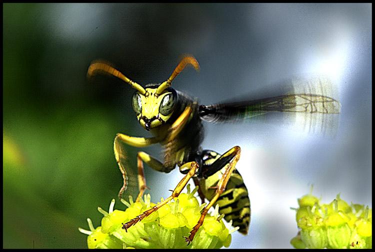 Flieg, Wespe, flieg !