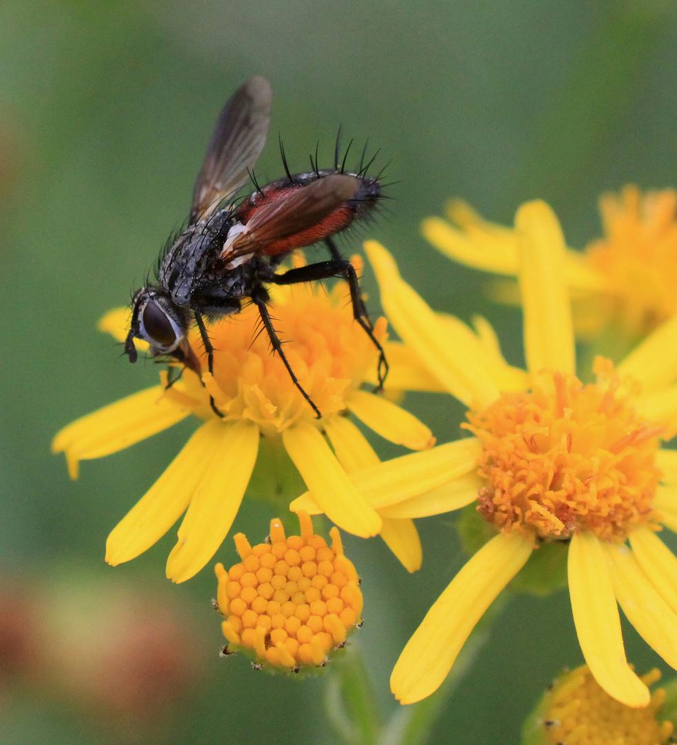 Fliege (1)