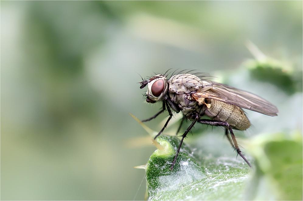 Fliege (10)