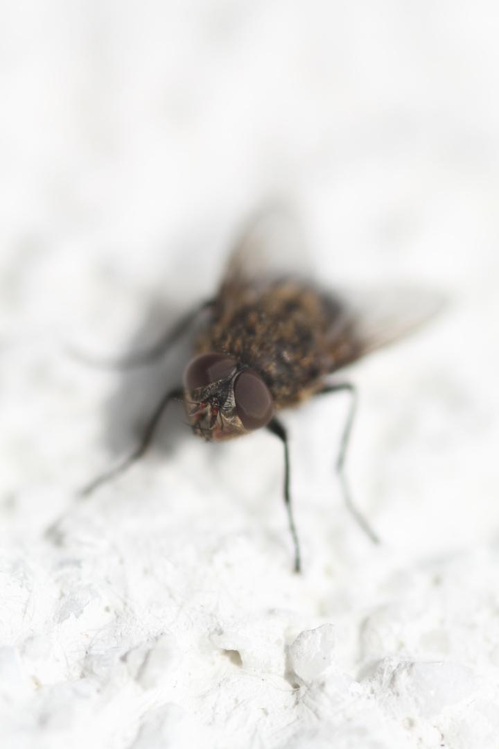 Fliege (1a)