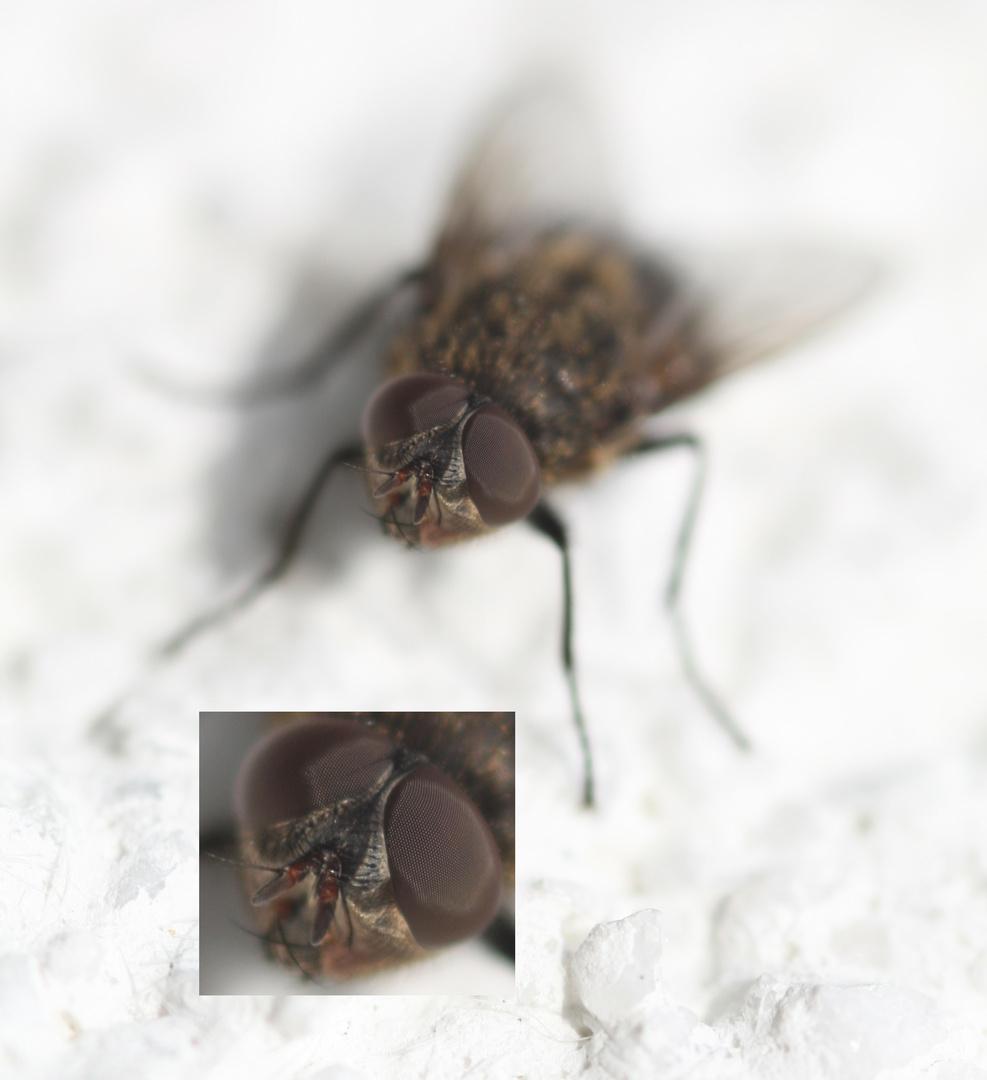 Fliege (1b) Collage - mit Detailausschnitt