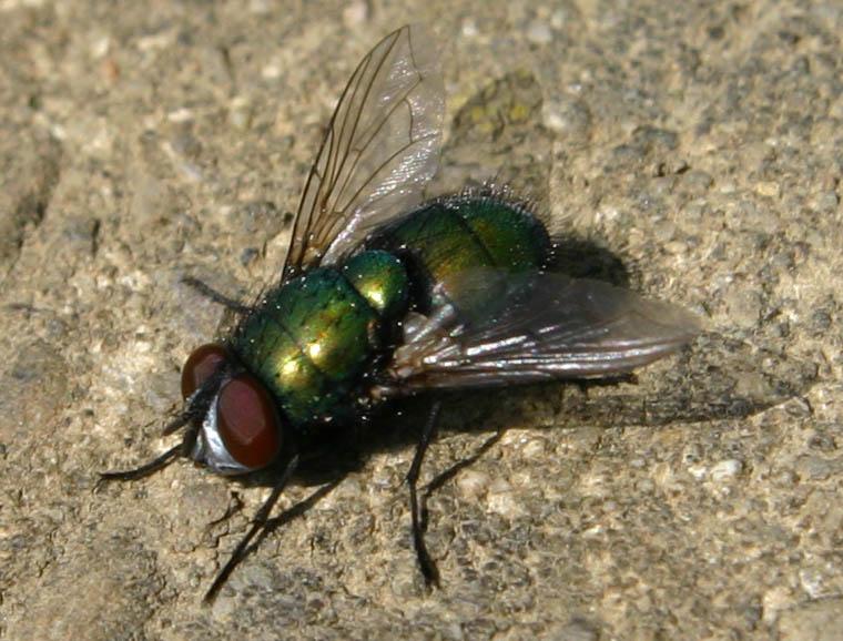 --Fliege--