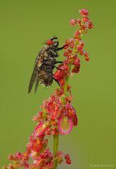 Fliege?