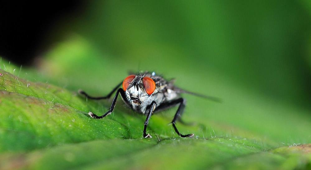 Fliege -