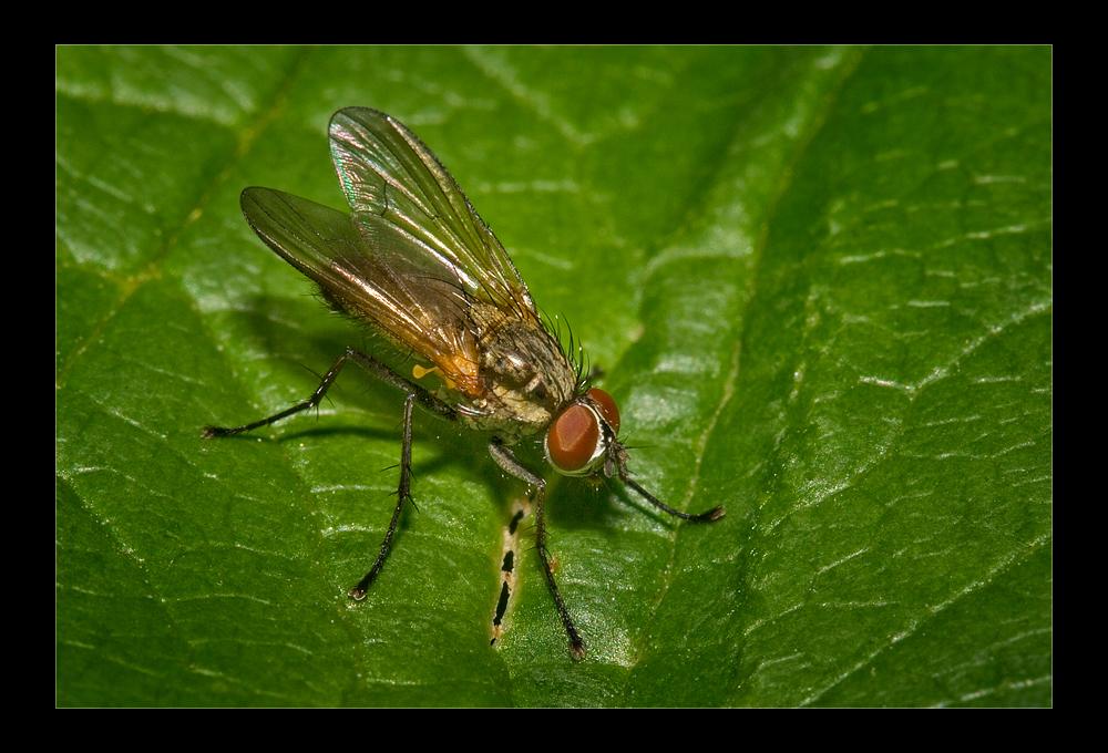 Fliege.