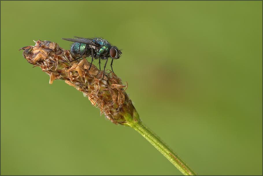 Fliege...
