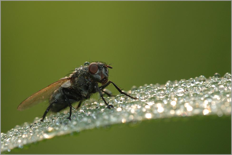 Fliege am Morgen