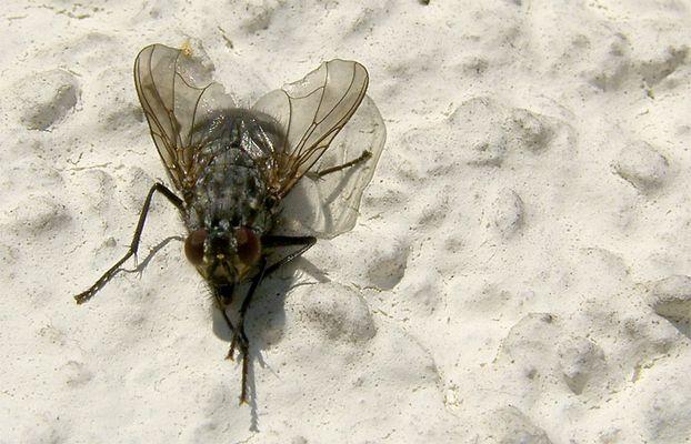 Fliege-an-der-Wand