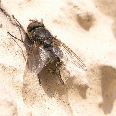 Fliege an Hauswand