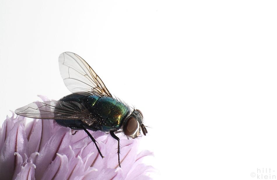 Fliege an Schnittlauch