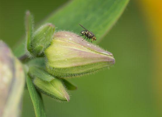 Fliege auf Akelei