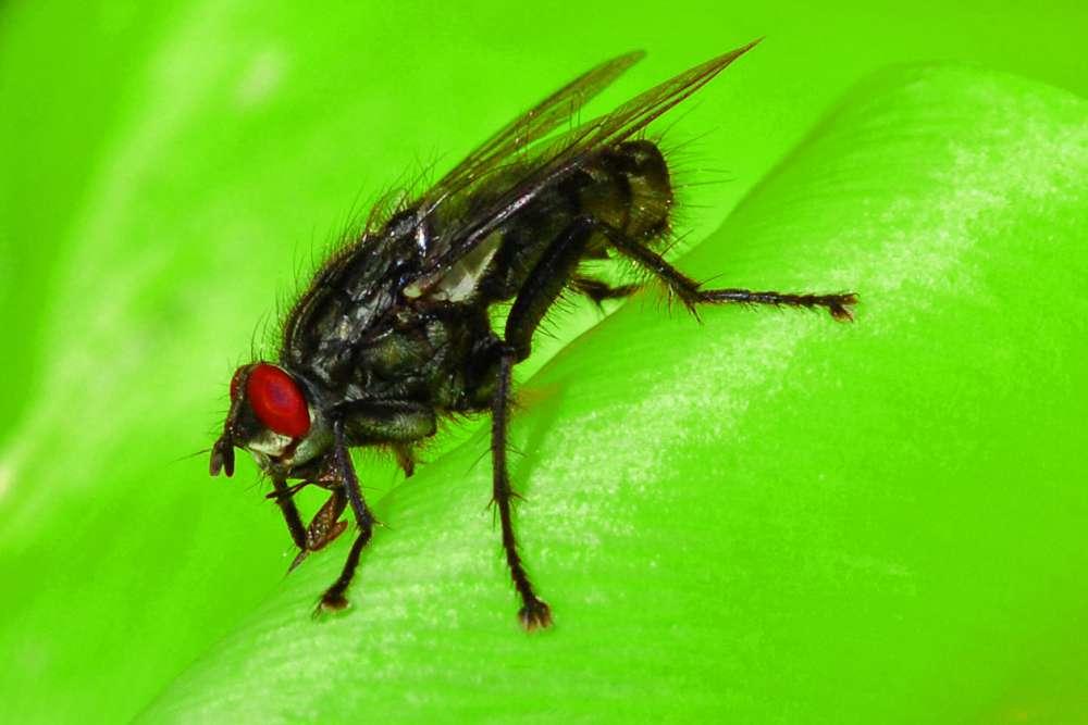 Fliege auf Blattpflanze