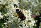Fliege auf Blüte