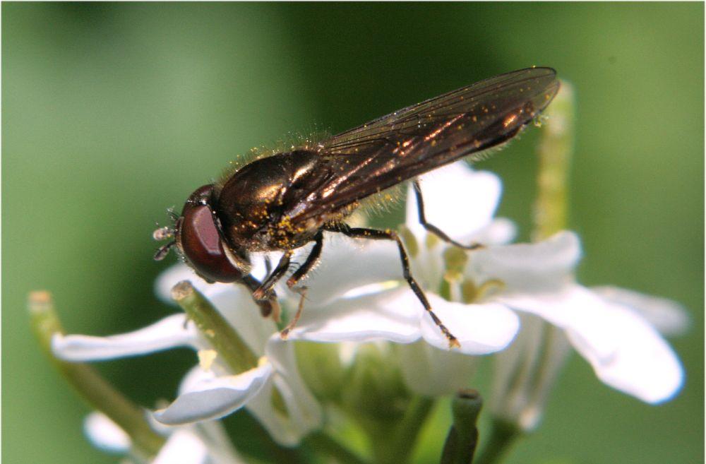 Fliege auf Blume :-)