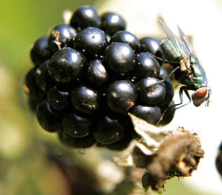 Fliege auf Brombeere